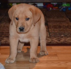 AKC Male Lab Puppy Buddy For Sale