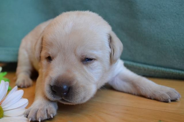 Male English Lab Puppy For Sale Dark Green 4 Winter Valley Labs