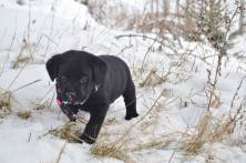 Male Black Lab Puppy For Sale