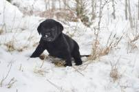 Male English Black Lab Puppies For Sale