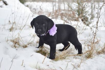 Female Black Lab Puppies For Sale In Wisconsin