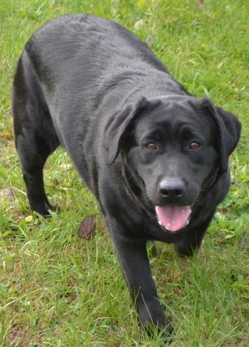 Labrador Retriever 4 Sale Black Female English L...