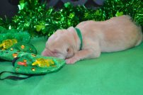yellow male Lab puppy (Green)