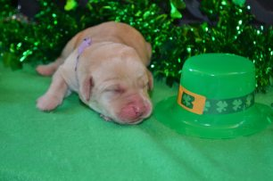 yellow female Lab puppy (Light Purple)