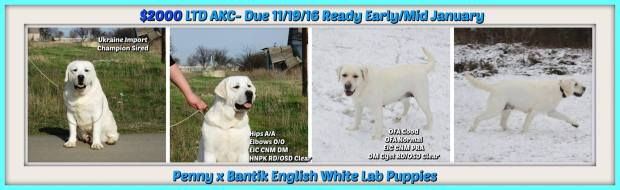 holiday-english-lab-puppies-2016-white