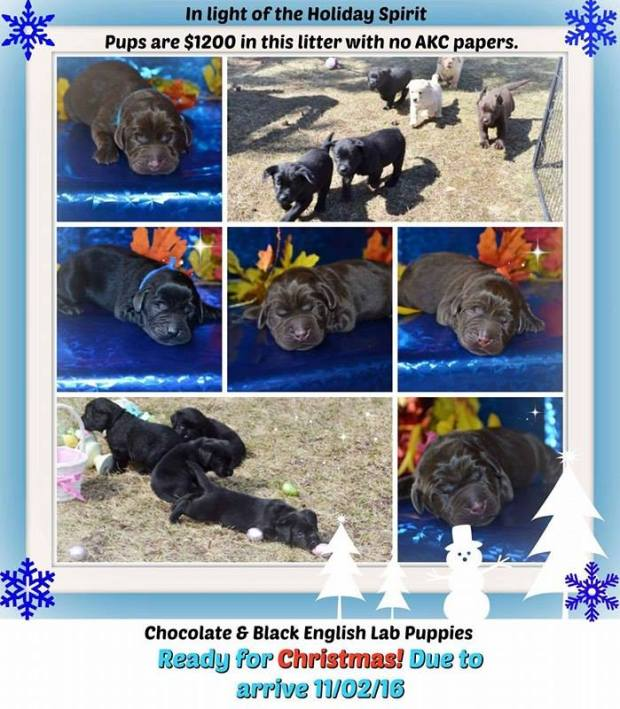 holiday-litter-2016-black-and-chocolate