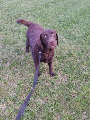 des-the-chocolate-lab-3