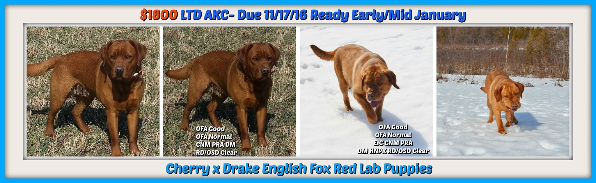 Male And Female Fox Red English Lab Puppies For Sale Winter Valley