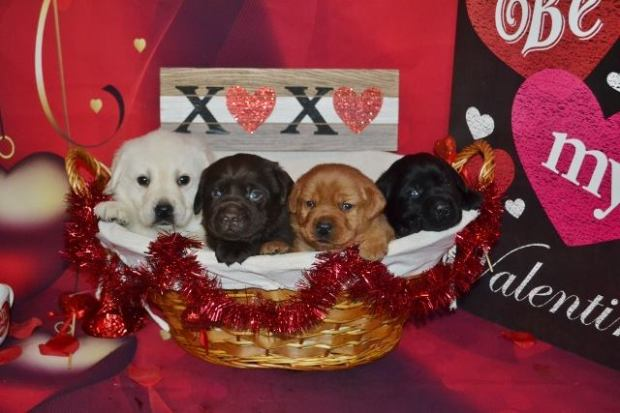english-lab-puppies-for-sale-white-chocolate-fox-red-black