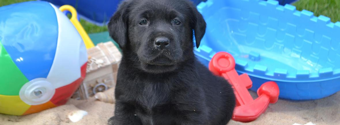 Black Lab Puppies For Sale – Winter Valley Labs (MLK)