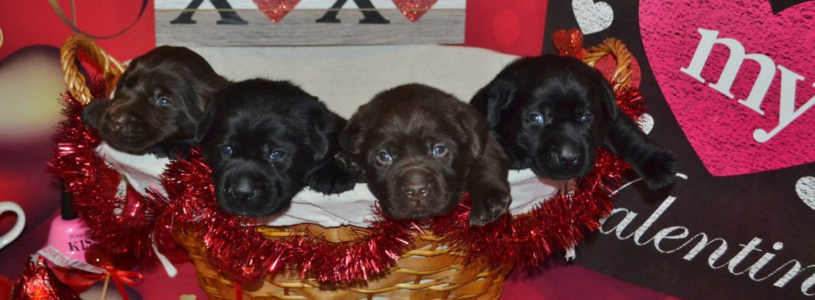 Chocolate Lab Puppies For Sale Winter Valley Labs Mlk