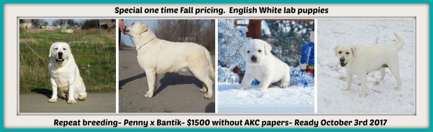 White English Lab Puppies Only $1,500 00 – Winter Valley