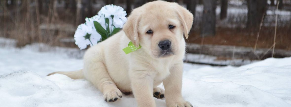 Whiteivory Lab Puppies For Sale Winter Valley Labs Mlk
