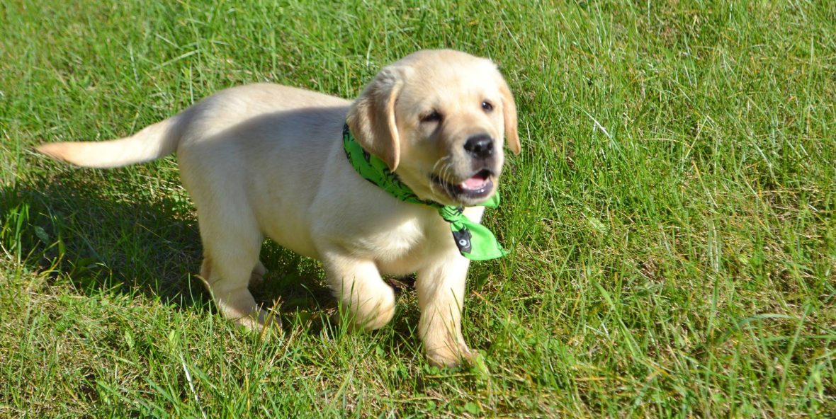 Yellow Lab Puppies For Sale Winter Valley Labs Mlk