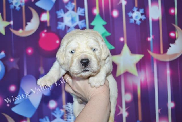 Lab Puppies For Sale In Wisconsin – Winter Valley Labs (MLK)