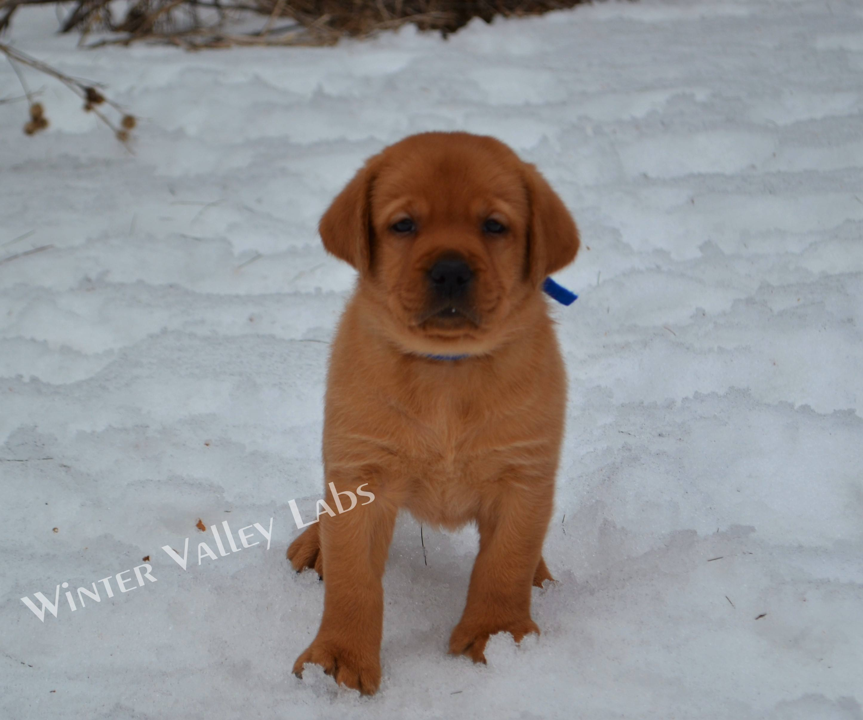 Female And Male Fox Red English Lab Puppies For Sale Winter