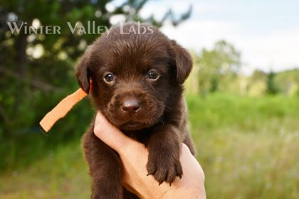 Chocolate Lab Puppies For Sale – Winter Valley Labs (MLK)