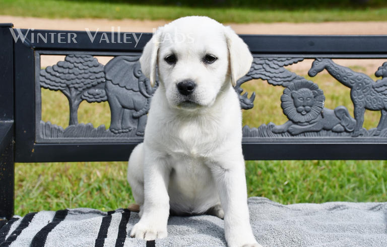 White/Ivory Lab Puppies For Sale – Winter Valley Labs (MLK)